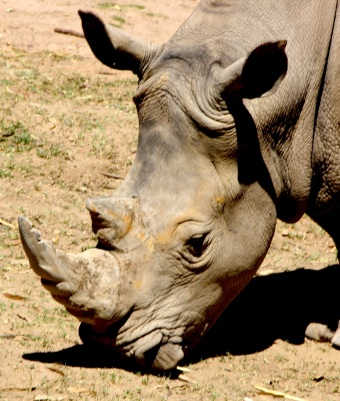 Rhinoceros at Taronga Western Plains Zoo, Dubbo, NSW Photo Erle Levey / Sunshine Coast Daily