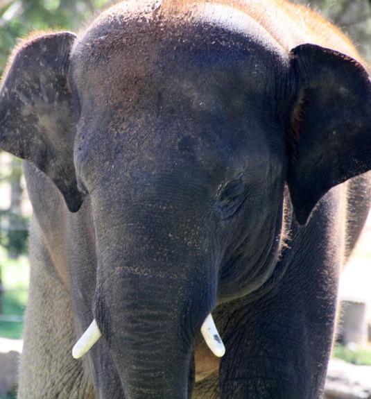 An Indian elephant at Taronga Western Plains Zoo, Dubbo, NSW Photo Erle Levey / Sunshine Coast Daily