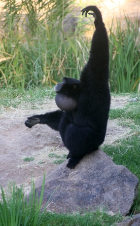 Siamang ape at Taronga Western Plains Zoo, Dubbo, NSW Photo Erle Levey / Sunshine Coast Daily