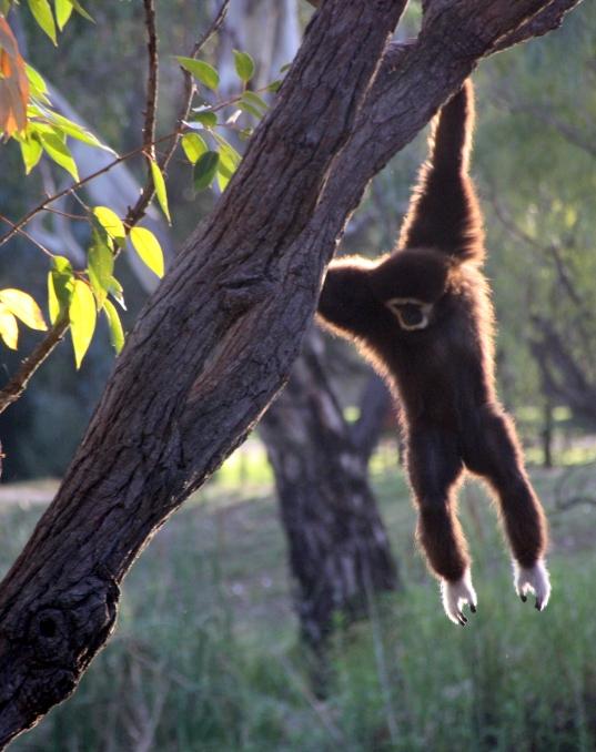 Jantan the white-handed gibbon at Taronga Western Plains Zoo, Dubbo, NSW Photo Erle Levey / Sunshine Coast Daily