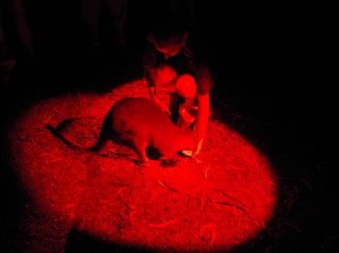 Feeding a wallaby at Taronga Western Plains Zoo, Dubbo, NSW Photo Erle Levey / Sunshine Coast Daily