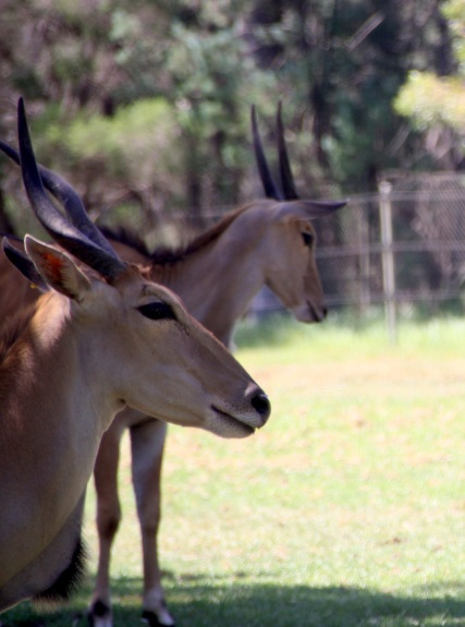 Elands at Taronga Western Plains Zoo, Dubbo, NSW Photo Erle Levey / Sunshine Coast Daily