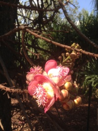 Blossoms on the cannonball tree at Darwin Botanic Gardens. NT. Photo: Erle Levey, Sunshine Coast Newspapers