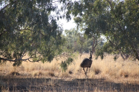 Emus by the roadside north-west of Winton, Queensland. Photo: Erle Levey, Sunshine Coast Newspapers