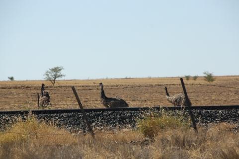 Emus by the railway line near Longreach, Queensland. Photo: Erle Levey, Sunshine Coast Newspapers