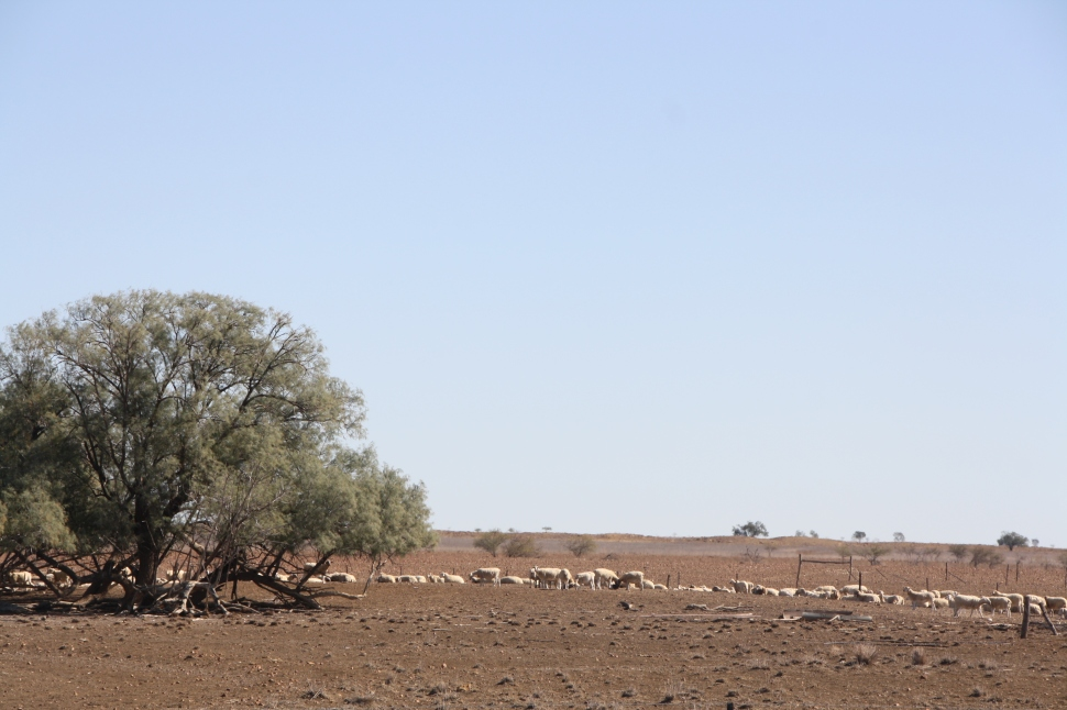 Sheep near Longreach, Queensland. Photo: Erle Levey, Sunshine Coast Newspapers